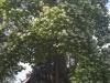 Trompetenbaum in der Blütezeit